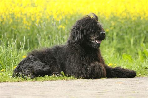 best dogs for with allergies ten of the best breeds for allergy sufferers pets4homes