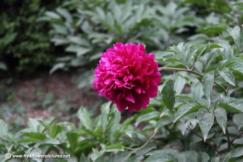 image for flowers peony picture flower pictures 902