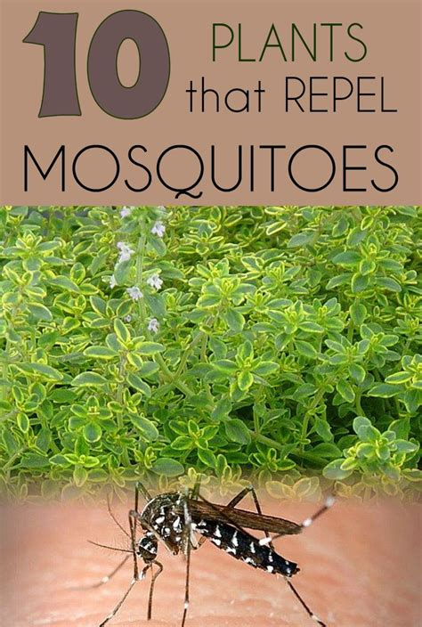 plants that repel mosquitoes 10 plants that repel mosquitoes gardaholic net