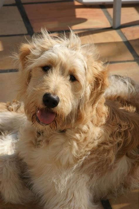 goldendoodle puppy ranch 1000 images about snickerdoodles goldendoodles on