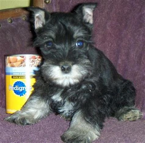 pomsky puppies for sale in ga schnauzers for sale breeds picture