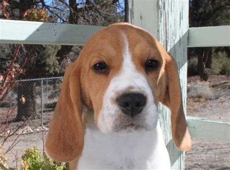 beagle puppies indiana beagles puppies for sale in california images