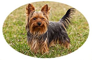 yorkie behavior yorkie temperament terrier solutions