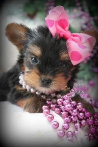 kissy teacup yorkies teacup yorkies for sale tea cup breeder puppies micro tiny