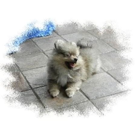 pomeranian puppies raleigh nc msd 2 kennel pomeranian breeder in raleigh