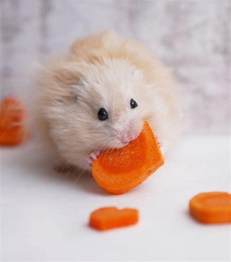 can pomeranians eat carrots the best hamster names for your new friend