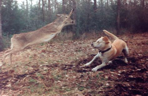 deer attacks the misadventures of myles