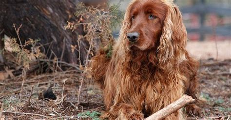 irish setter dog food dogs with hair all about dogs irish setter proper food