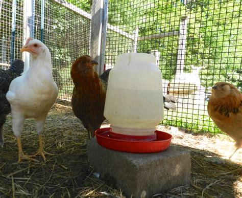 how to care for chickens in your backyard how to raise laying hens in your backyard how to raise backyard chickens sierra club