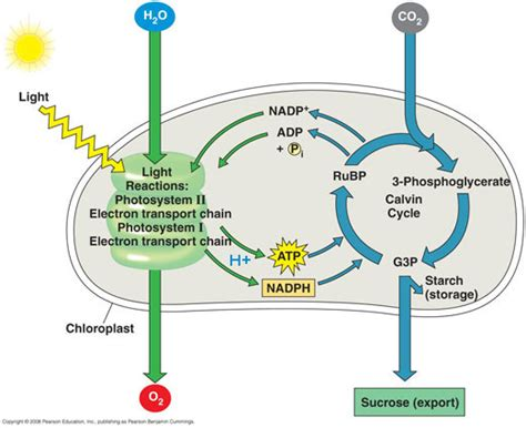 diagram and explain electron transport virgen cellular respiration and photosynthesis