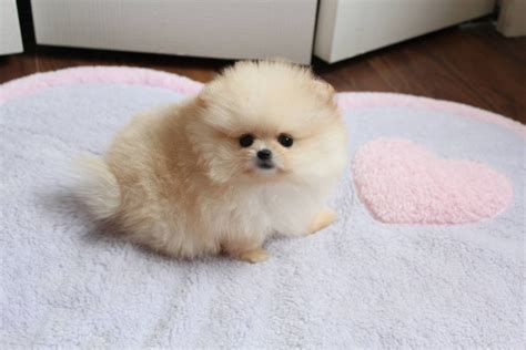 teacup size pomeranian pomeranian puppies for sale in canada breeds picture