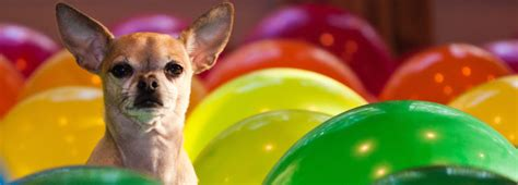 bark collar  chihuahua dog  treats