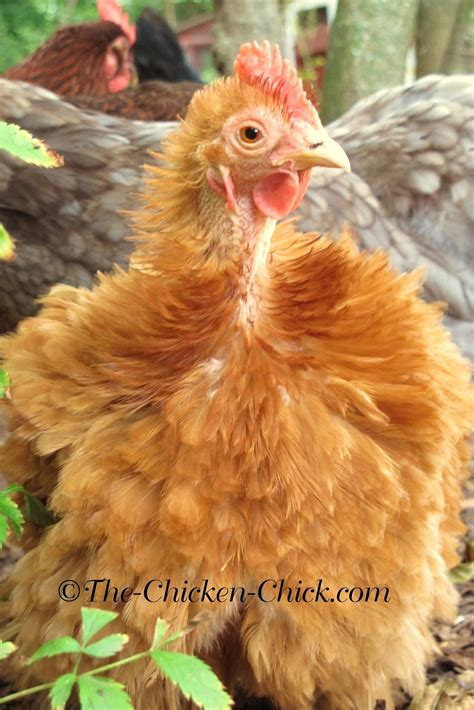 the chicken chick 174 molt muffins for chickens during