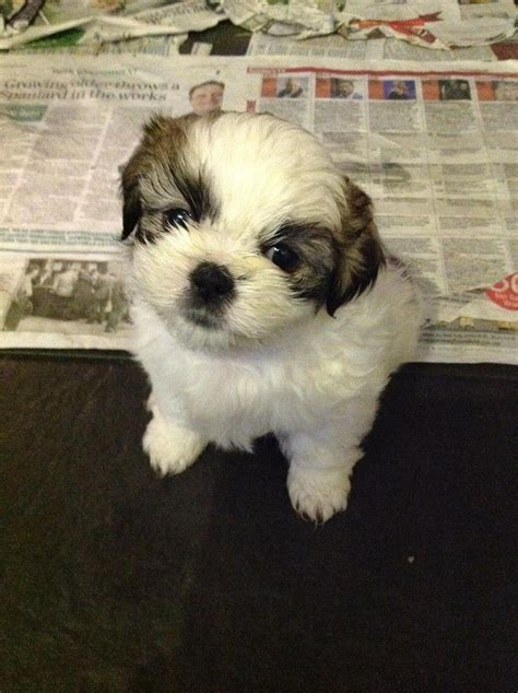 4 week shih tzu 11 week shih tzu needs a new home lancashire pets4homes