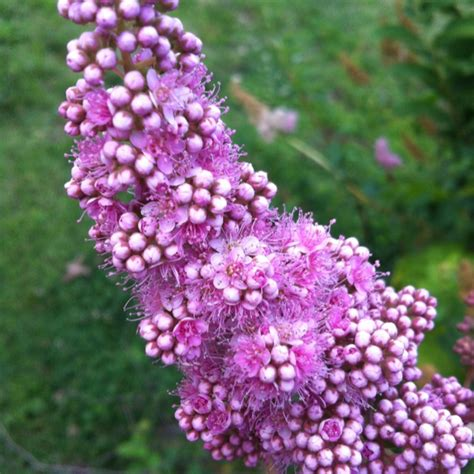 multi colored butterfly bush butterfly bush bloom blooms and butterflies