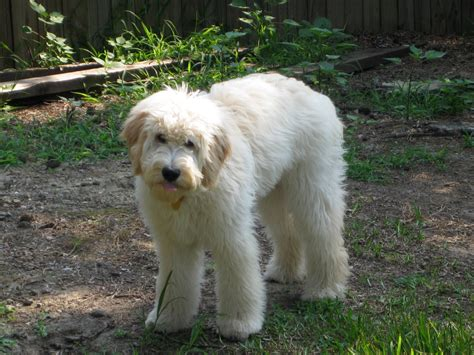 doodle haircut pictures goldendoodle haircut pictures newhairstylesformen2014