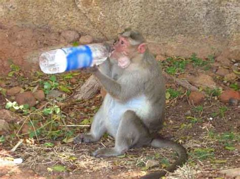too hot funny pic the 50 best funny monkey pictures of all time