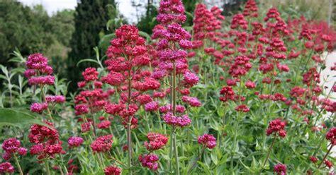 stauden die den ganzen sommer blühen dauerbl 252 unter den stauden mein sch 246 ner garten