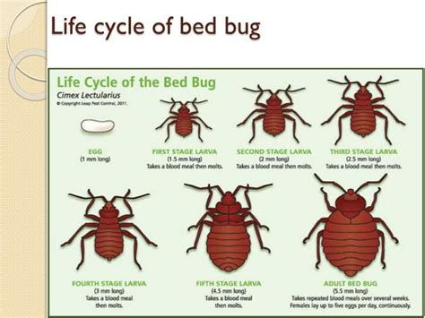 life cycle of bed bugs ppt flea bedbug powerpoint presentation id 2095193
