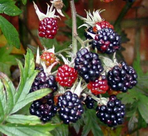 blackberry eating theme blackberries