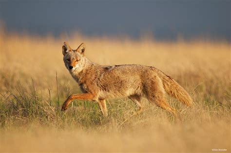 are coyotes color blind coyote in tallgrass rocky mountain arsenal national