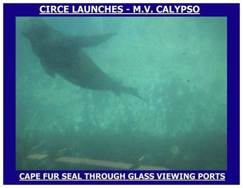 glass bottom boat cape town a seal viewed through our glass bottom boat calypso