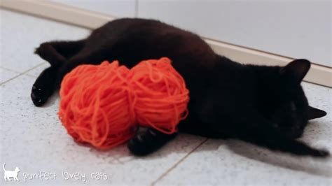 Black Lovely Cat funnycatsvideos black cat with orange of