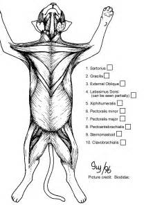 cat muscle anatomy cat muscle coloring pages oloring pages ages human anatomy body