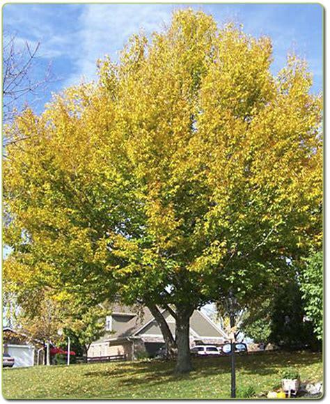 american tree american beech