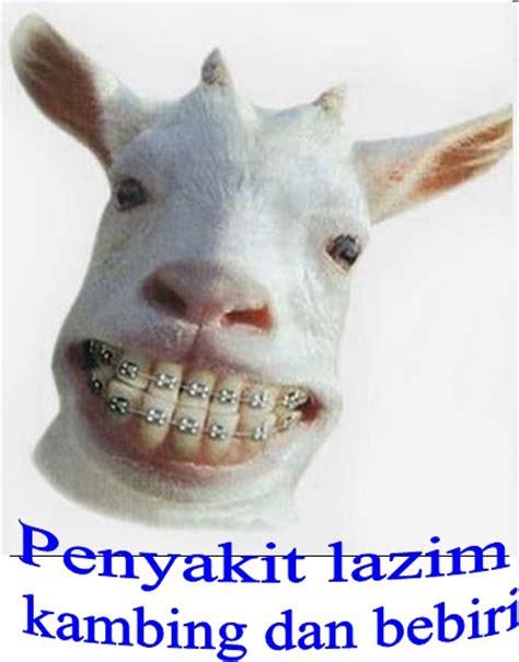 Lu Di Kandang Kucing bukan doktor veterinar ternak kambing bebiri