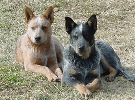 heeler puppies difference between australian cattle and blue heeler