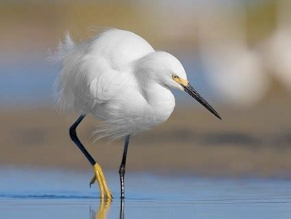 snowy egret identification all about birds cornell lab