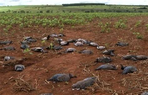 Furadan 100 G g1 cerca de mil pombos s 227 o achados mortos em lavoura de