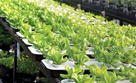 grow lettuce indoors  winter
