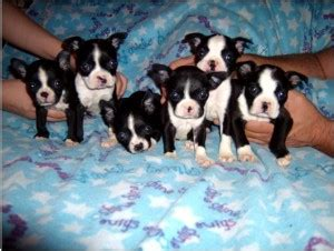 boston terrier puppies alabama dogs birmingham al free classified ads