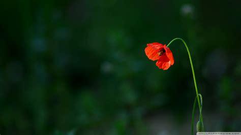 best indoor plants for your sad and lonely life broke download sad poppy wallpaper 1920x1080 wallpoper 448858