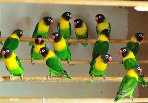 Jual Burung Lovebird 12 aneka jenis burung lovebird dan harga pasarannya