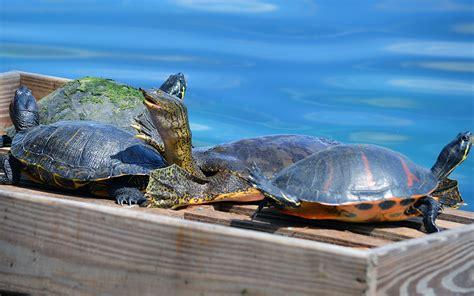 alimentazione tartarughe acqua dolce tartarughe d acqua dolce primi passi per tenerle in casa