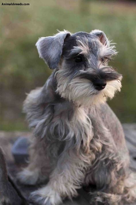 miniature schnauzer pictures information temperament characteristics animals breeds
