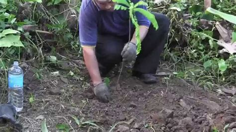 Belimbing Buluh menanam belimbing buluh