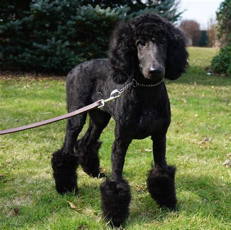 teacup puppies for sale in ohio standard poodle puppies for sale in ohio dogs our