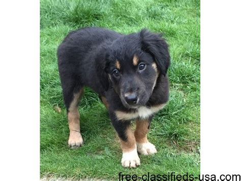 border collie puppies for sale in michigan border collie puppies for sale animals michigan announcement 39517
