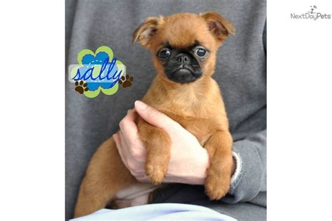 pomeranian rat terrier mix puppies for sale pomeranian puppy for sale near reading pennsylvania 72977b8b 12d1