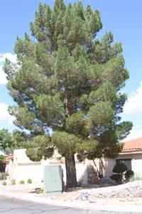 Afghan pine tree photos http www sungardensinc com mondale pine