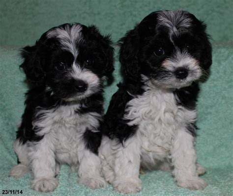 yorkie poo breeders colorado yorkiepoo puppies margate kent pets4homes