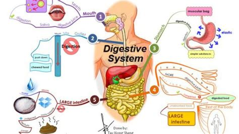 addome organi interni l anatomia dell apparato digerente