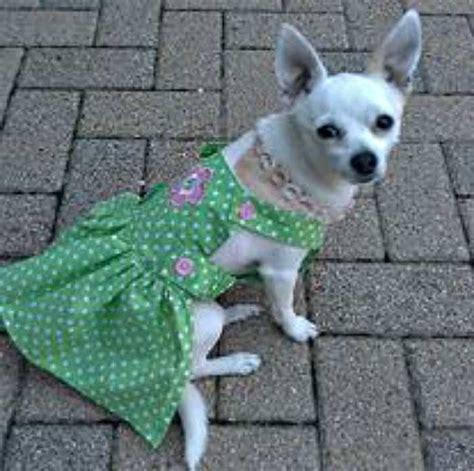 My Chihuahua Fidel Sun by Chihuahuas In Pretty Dresses I My Chi