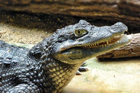 Free photo: Cayman, Animal, Reptile   Free Image on Pixabay   589399