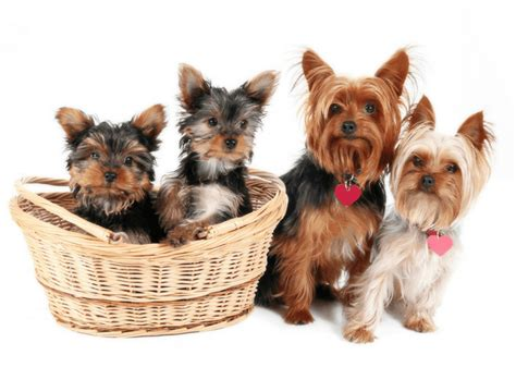 how to become a yorkie breeder how to choose a yorkie breeder what you need to