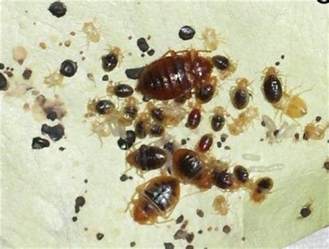 all about bed bugs dealing with bed bugs when you travel indiana jo
